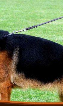 German Shepherd puppies in ON.jpg